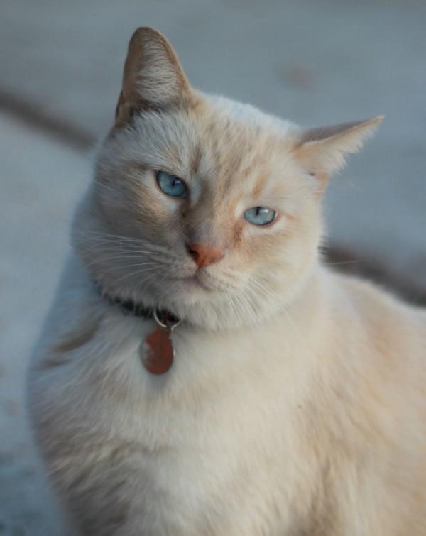 blue eyed ginger cat