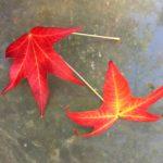 liquidambar leaves