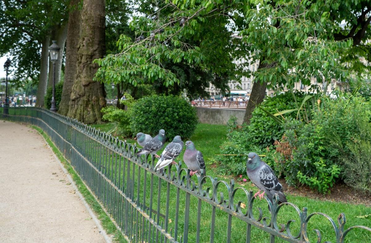 Pigeons on fence near Notre Dame Paris. Details at une femme d'un certain age.