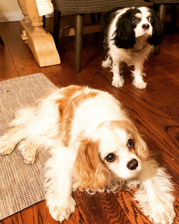 Byron & Coco, Cavalier King Charles Spaniels.