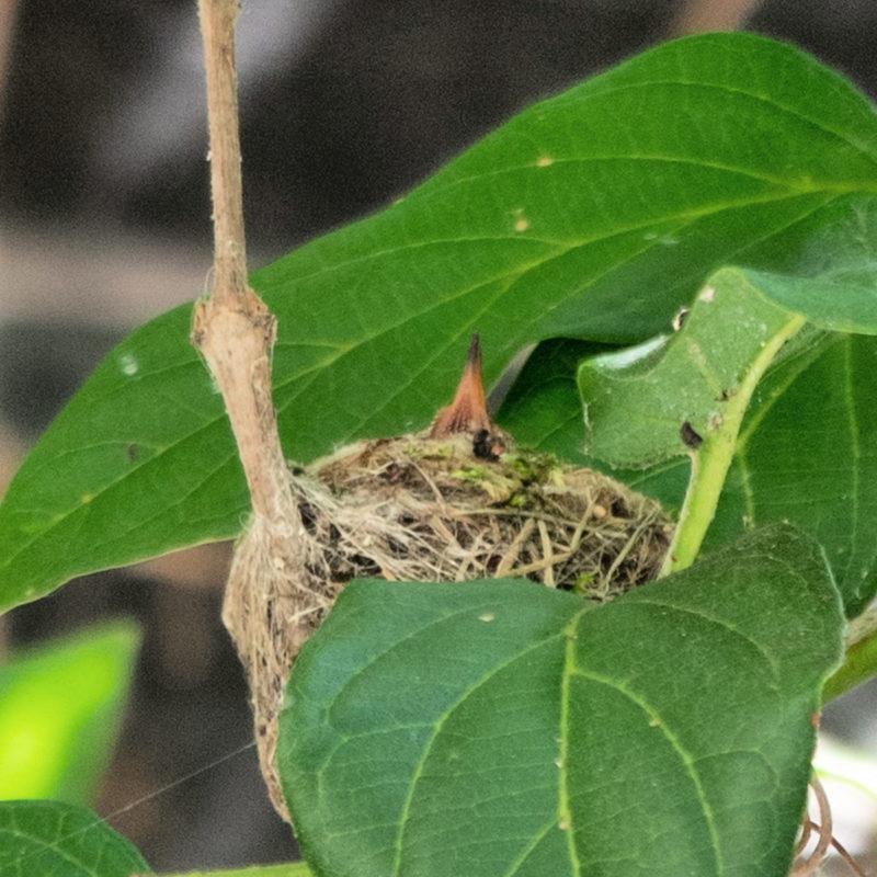 Hummingbird chick in nest. Details at une femme d'un certain age.
