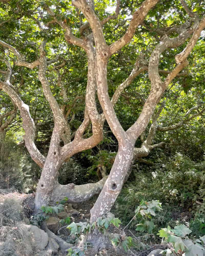 Twisted sycamore trees near Pfeiffer Beach in Big Sur, California.